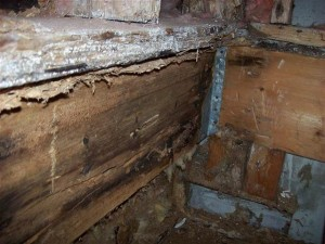 Carpenter_Ants_and_Mold_damage_(640x480)